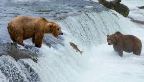 Програма Google Earth запустила онлайн-трансляції дикої природи - користувачі можуть подивитися на бурих ведмедів на Алясці